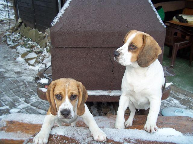unsere Beagle Damen....