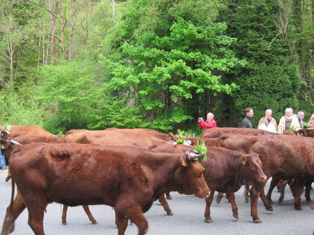 Pfingsten Viehaustrieb in Wildemann