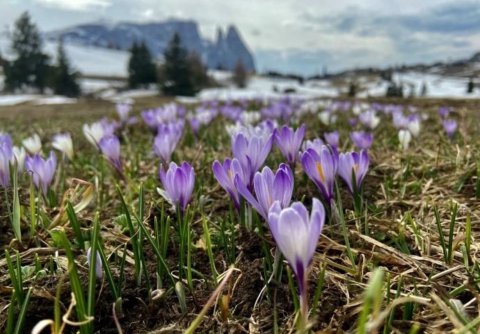Frühlingserwachen auf der Seiser Alm inmitten unberührter Natur