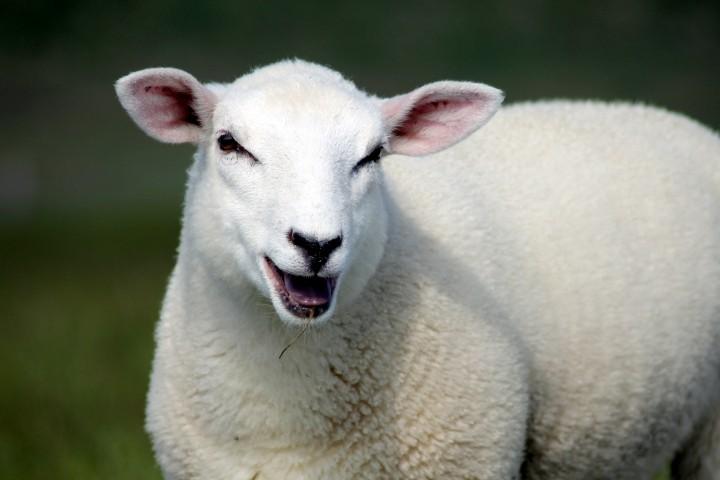 Schafe auf dem Deich vorm Haus
