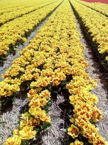Tulpen- und Blumenfelder in der Nähe