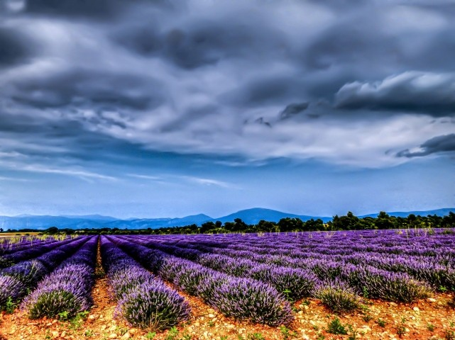 Lavendelfeld auf dem Plateau neben dem Dorf