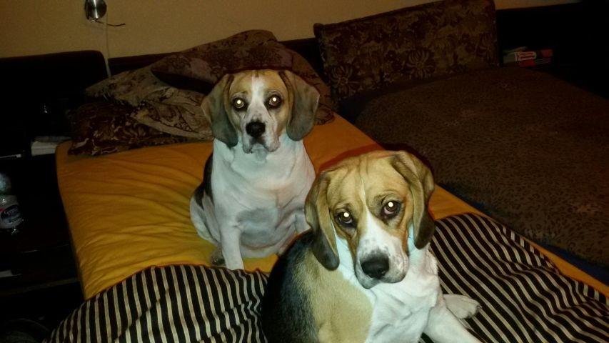 unsere Beagle- Mädchen -Mutter & Tochter