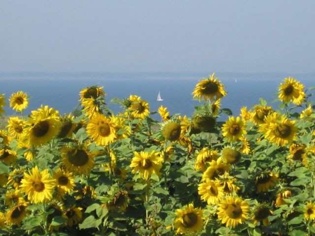 Sonnenblumenfeld Schwedeneck