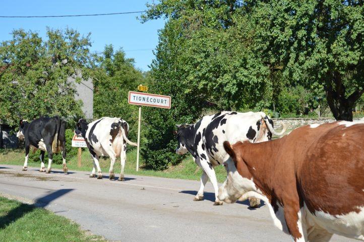 Hier gibt es noch glückliche Kühe.