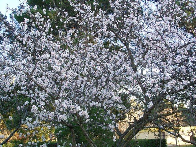 Mandelblüte Februar Narbonne-Plage