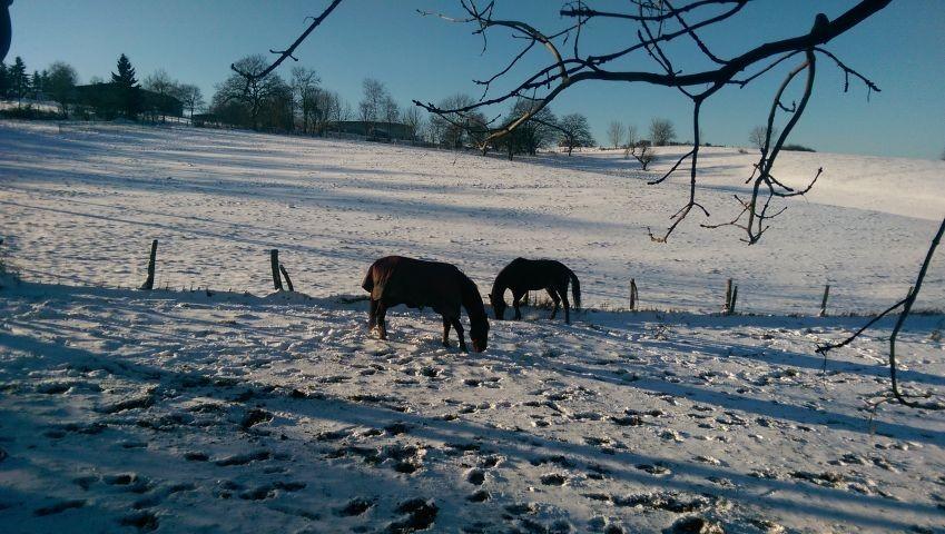 Pferde auf der Winterweide