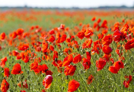 ....blühende Mohnblumenfelder