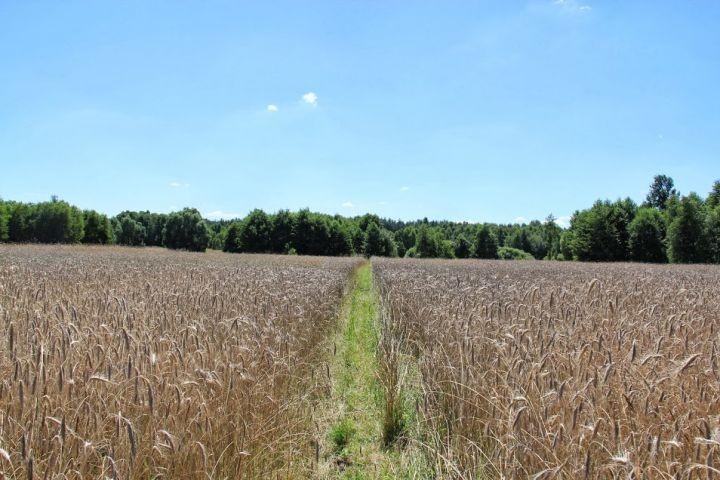 Der Weg durch die Felder zu unserem Badesee
