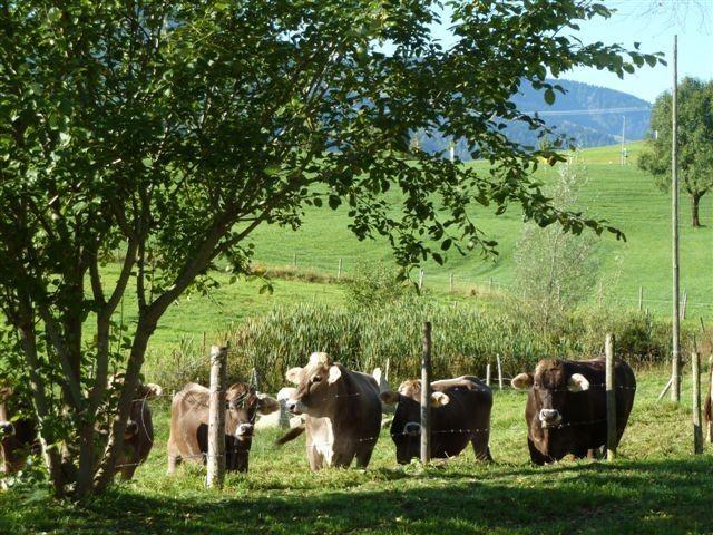 Rinder am Haus