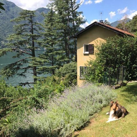 Hund im Lavendel im Garten neben dem Haus