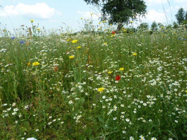 angrenzende Blumenwiese