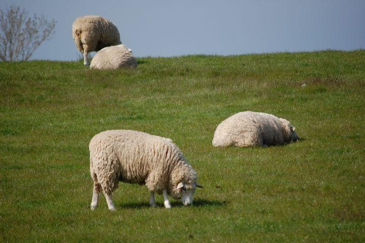 Schafe auf dem Deich an der Ostsee