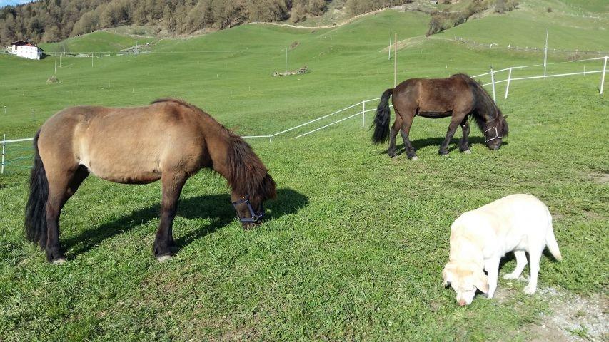 Aviunshof Islandpferde mit  Hund Lilly