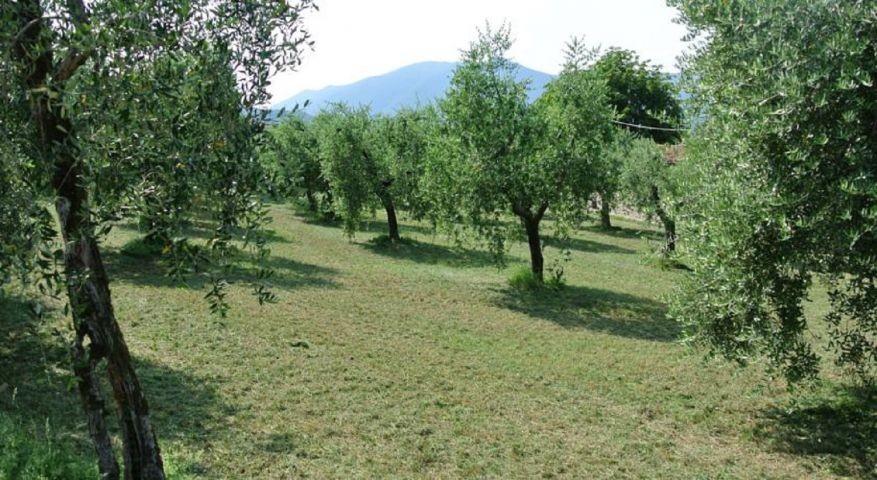 Olivenhein vor dem Haus