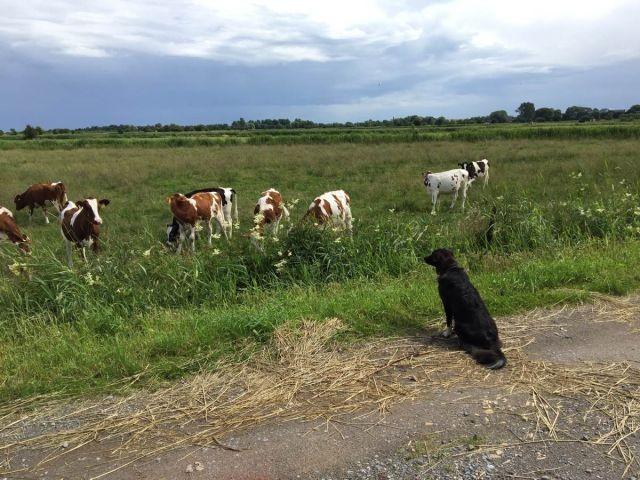 Kuh-watching für Hütehunde