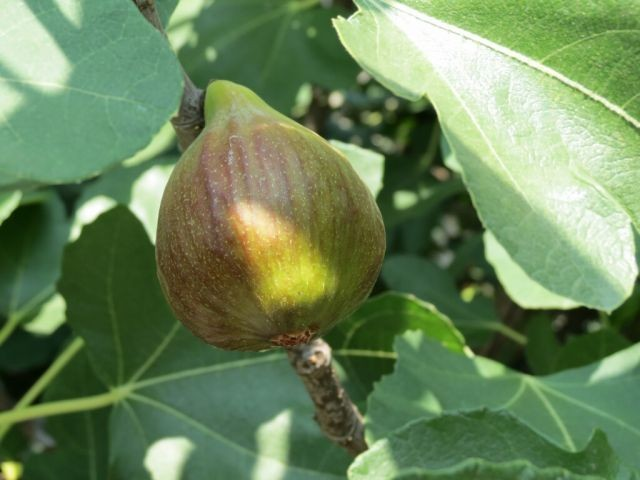 Frische Feigen direkt vom Baum essen