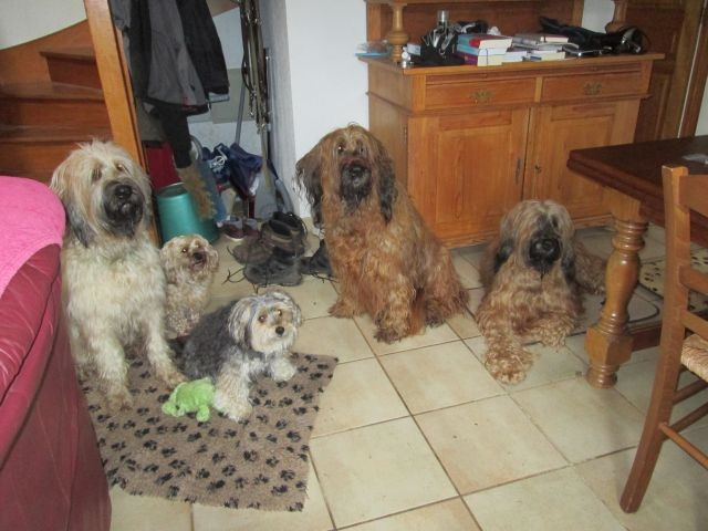 Briard Family ist hungrig...