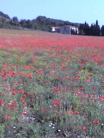 Mohnblüte im 'La Clape' Gebirge von Gruissan