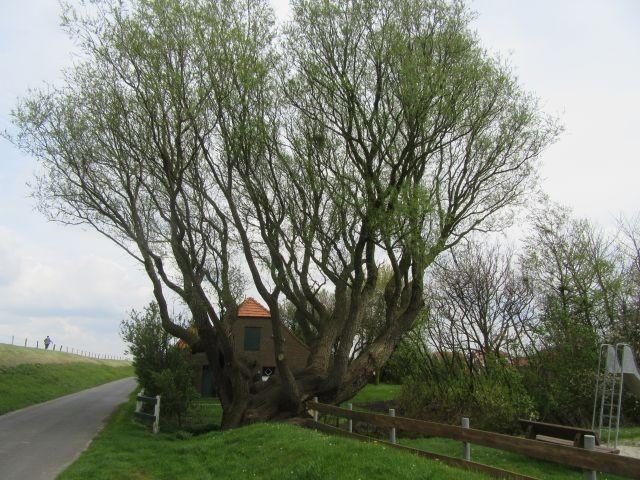 Baum Westerdeich