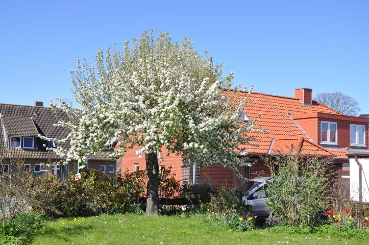 Blühender Birnenbaum im Garten
