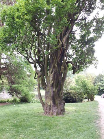 Uriger Baum im Schlosspark Hanau