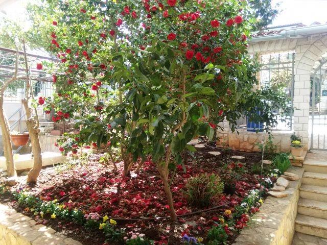 Rrote Kamelie blüht am Eingang zum Garten