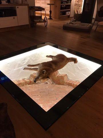 Gästehund Charly entspannt auf der Glasplatte im Wohnbereich