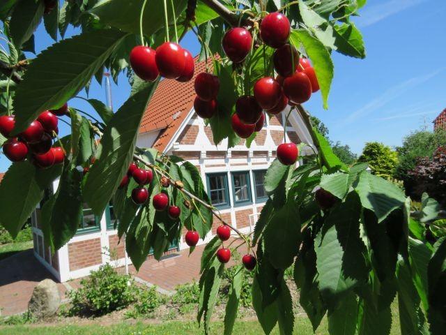 Kirschen nicht in Nachbars- im eigenen Garten