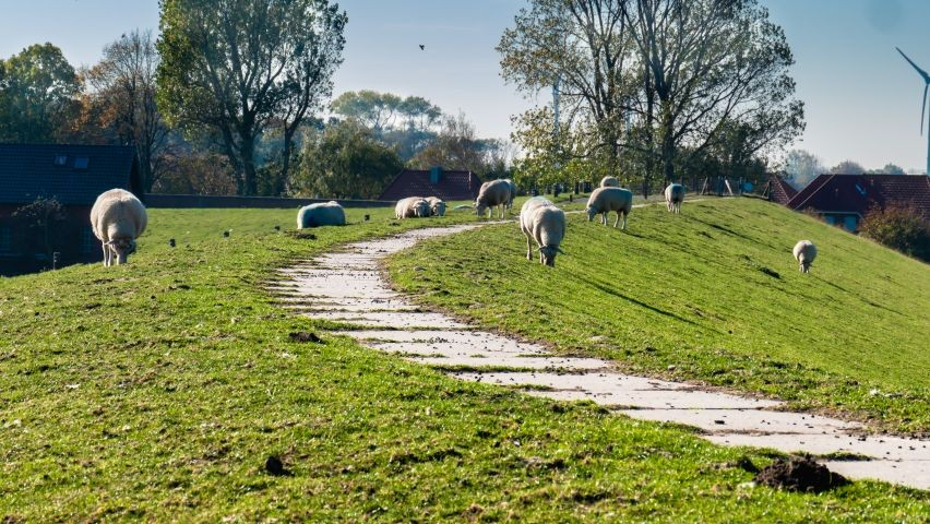 Wandern zwischen Schafen auf dem Deich