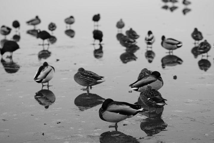 Enten auf dem Eis am Warener Hafen