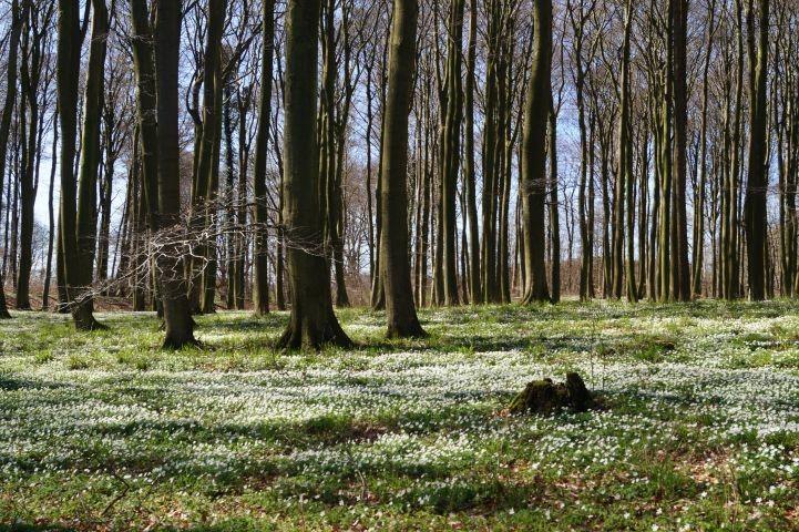 Buchenwald im Frühjahr