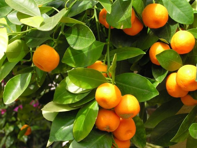 Orangen zur Erntezeit