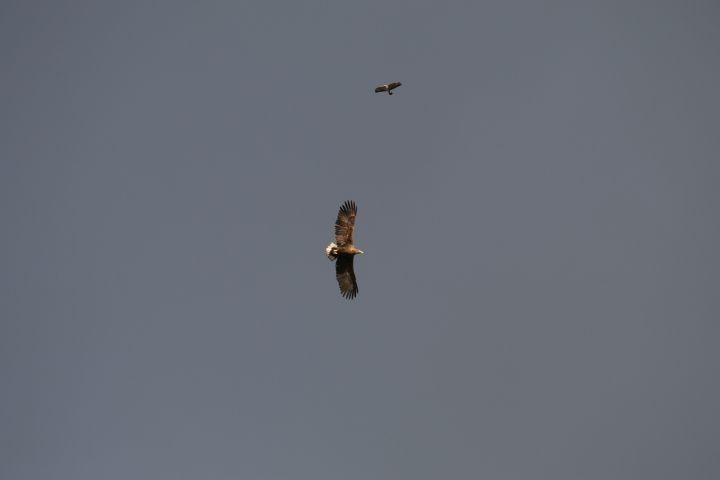 Unser Nachbar der Seeadler