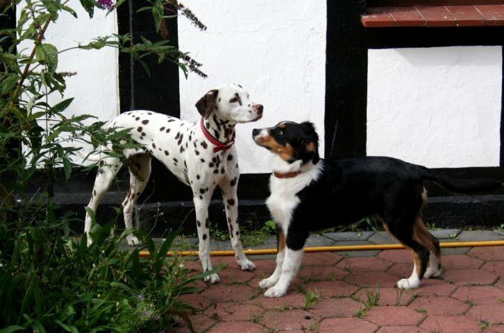 Dalmatiner zu Besuch