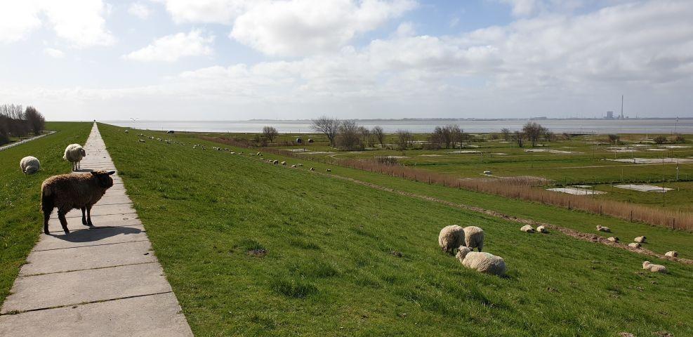 Deich mit Schafen im Frühling