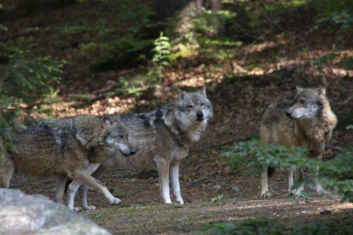 Wölfe im Tierfreigehege