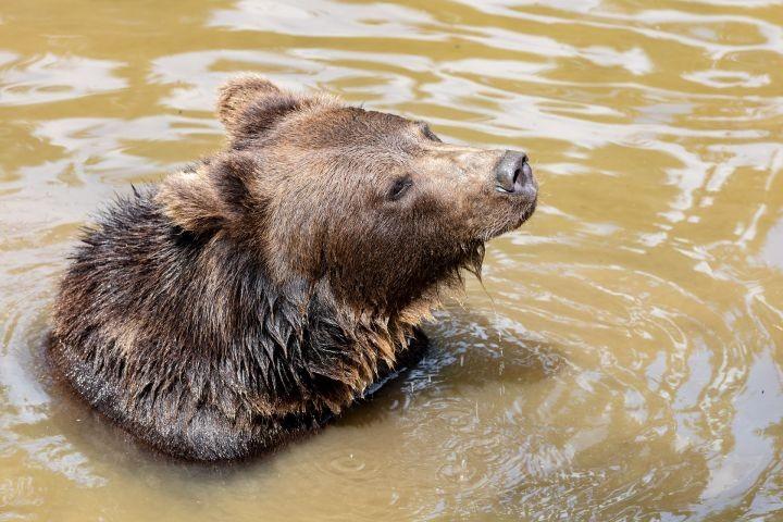Braunbär im Tierfreigehege