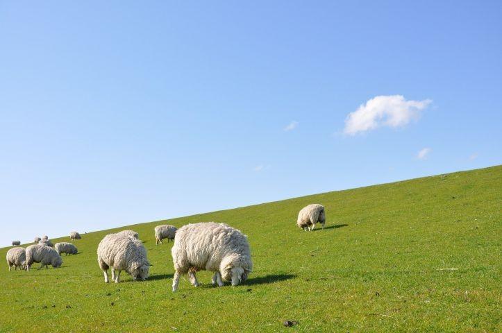 Schafe in Friedrichskoog