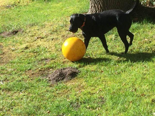 Gasthund hat viel Spaß in dem eingezäuntem Garten