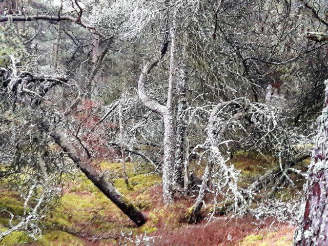 Flechten verzaubern den Wald