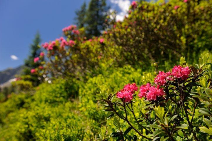 Im Juni/Juli blühen die Alpenrosen