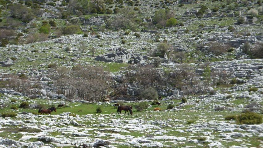 wilde Pferde im Biokovo