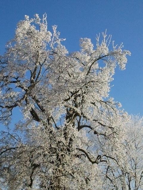 Geschätzte über hundert Winter erlebte dieser Birnbaum.