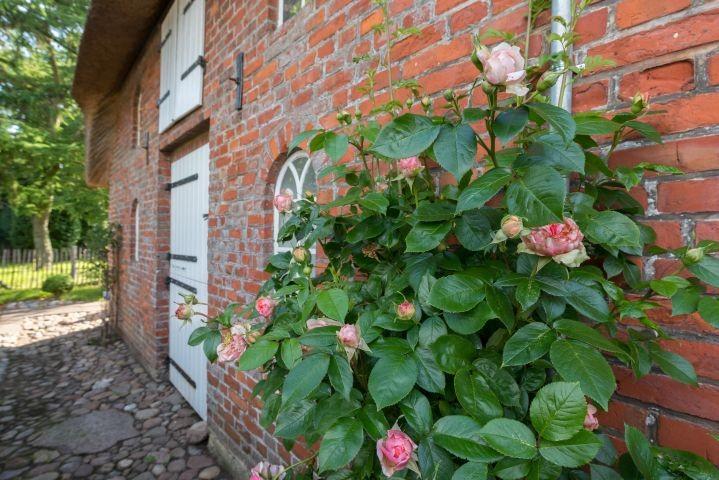 Wunderschöne Rosenstauden zieren das Haus