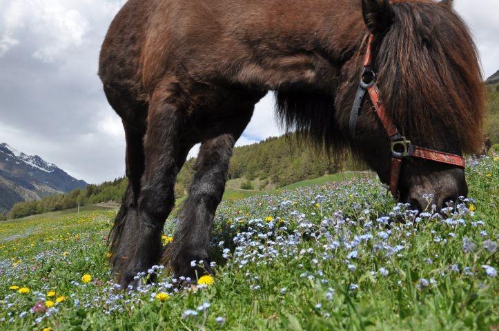 Eines unserer Islandpferde auf der Sommerweide