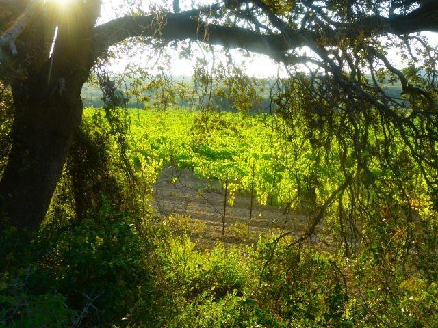 Weinreben im Clape-Massiv - Weingüter laden zur Weinprobe