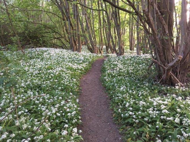 Im Frühjahr wächst bei uns im Wald entlang der Ecker der Bärlauch.